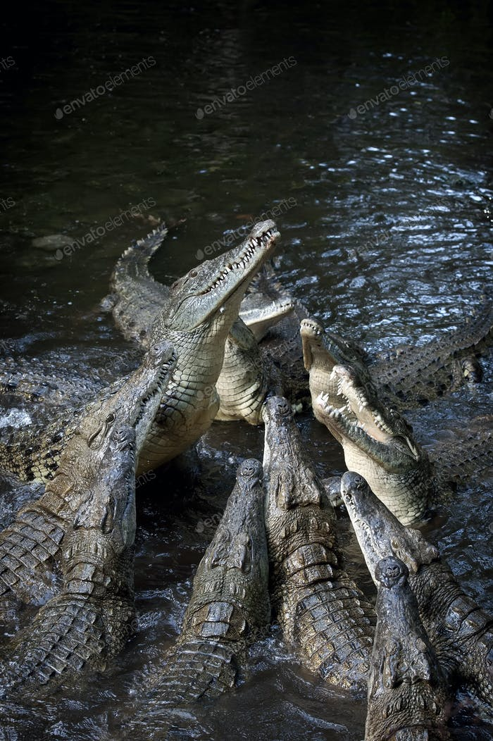 Group crocodile