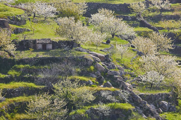 Cherry blossom hills in Jerte Valley, Caceres. Spring in Spain