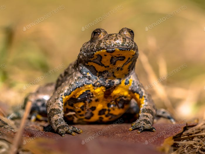 Yellow bellied toad in grass