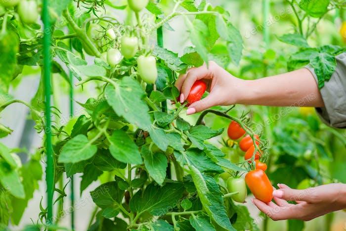 Rote Tomaten im Gewächshaus, Frau Abschneiden ihrer Ernte