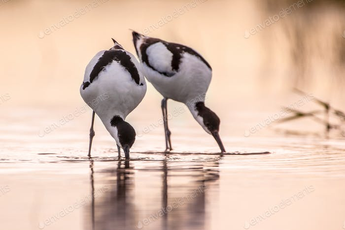 Couple of foraging pied avocet