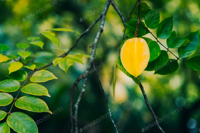 The star apple or carambola fruit hanging on the trees against dark background