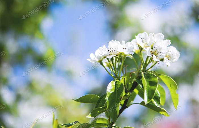 Blossoming twig of apple tree