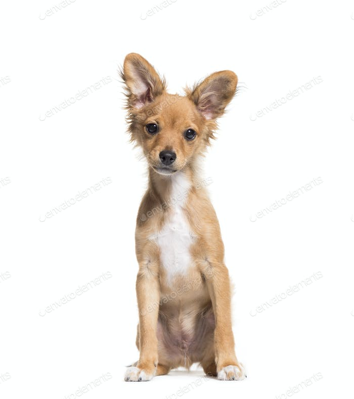 Brown Mixed-breed dog sitting in front of a white background