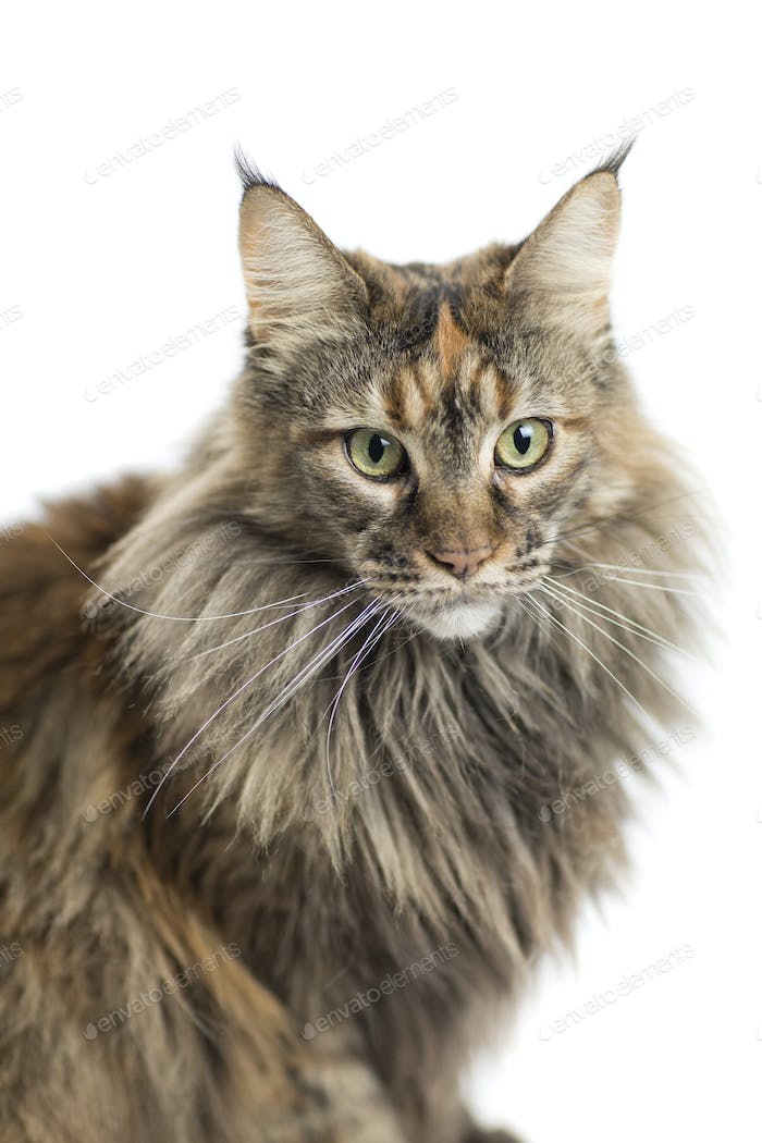 isolated maine coon cat specimen sitting