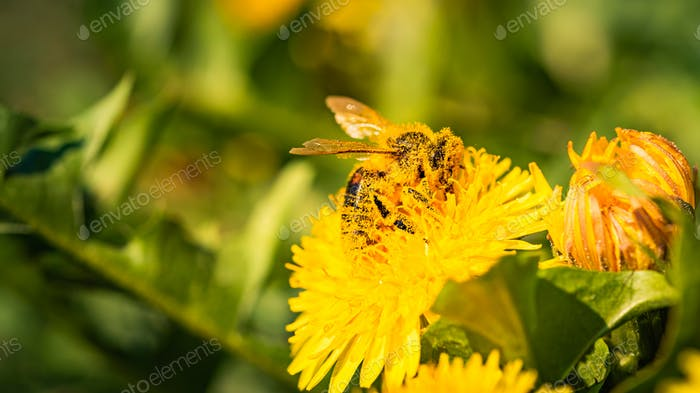 Honey bee collecting nectar from dandelion flower in the spring time. Useful photo for design or web