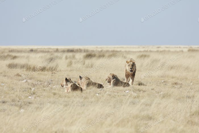 Pride of lions, panthera leo, in grassland.