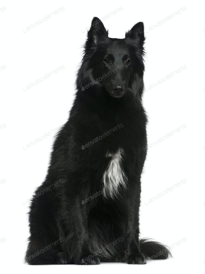 Belgian Shepherd dog, Groenendael, 2 years old, sitting in front of white background