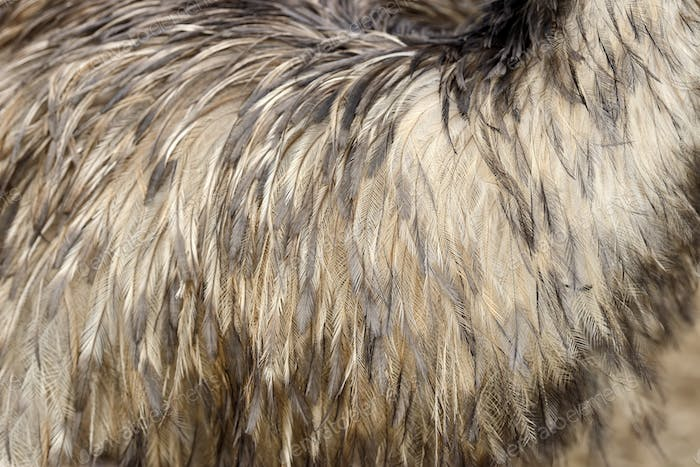 Thumbnail for Feathers texture of a ostrich