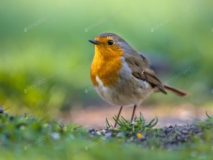 Robin hopping on the ground