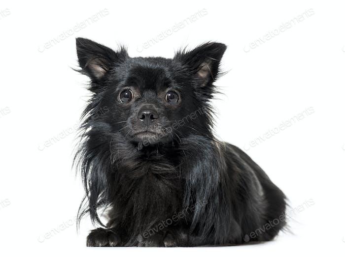 Porträt eines Chihuahua Hund liegend vorne, ausgeschnitten