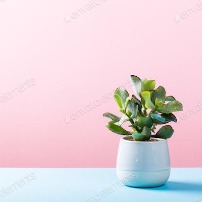 Indoor plant succulent plant in pot