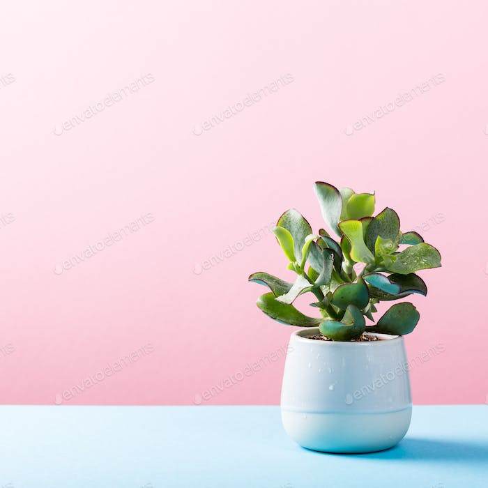 Indoor plant succulent plant in pot