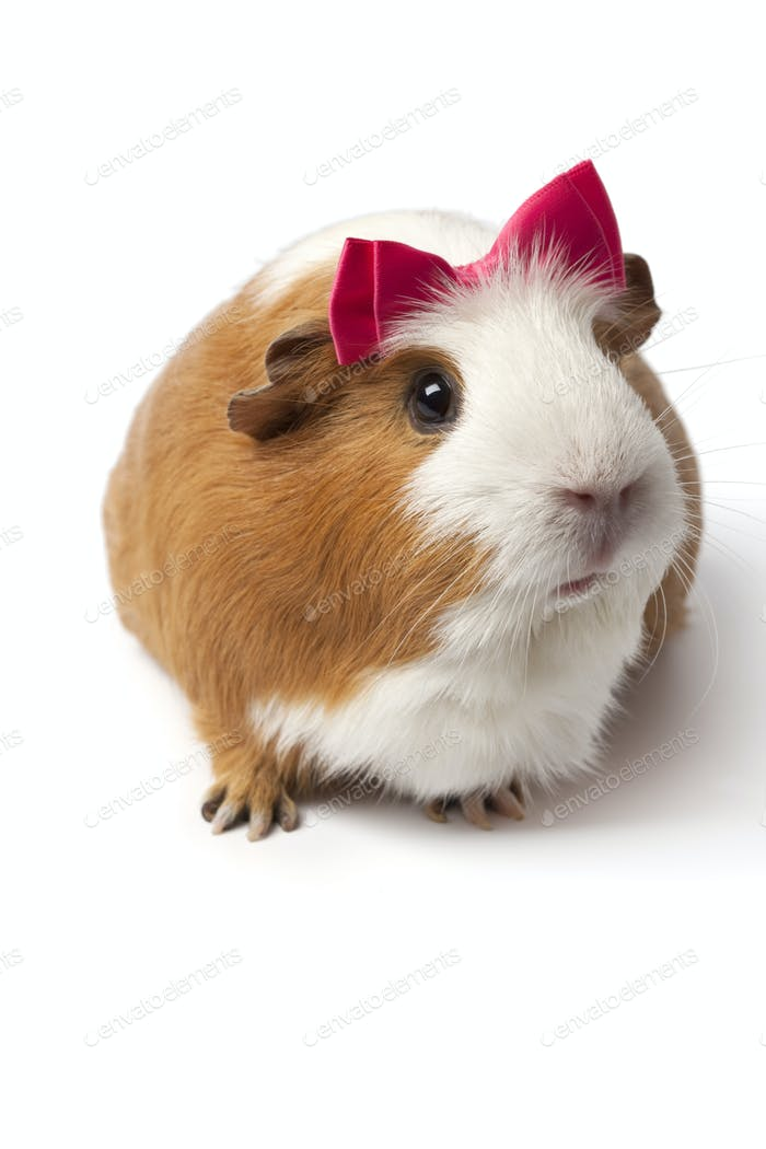 Guinea Pig with a pink bow on her head
