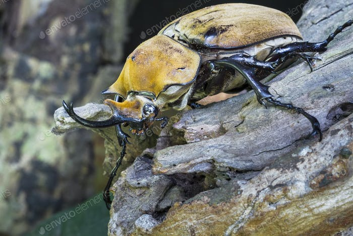 Hercules Beetle, Male, in Costa Rica