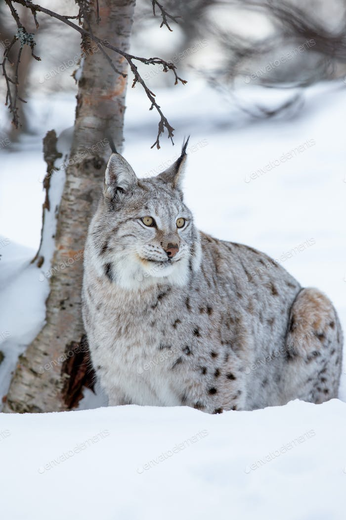 Lynx in a norwegian winter forest