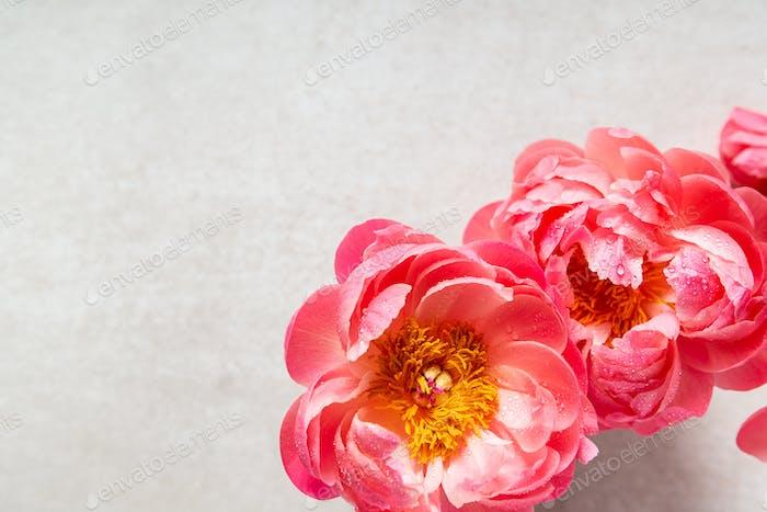 Amazing pink peonies on light background