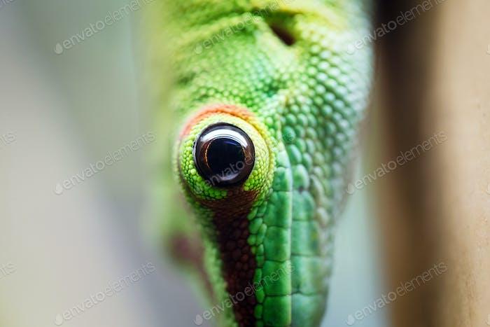 Nahaufnahme grüne Eidechse Auge
