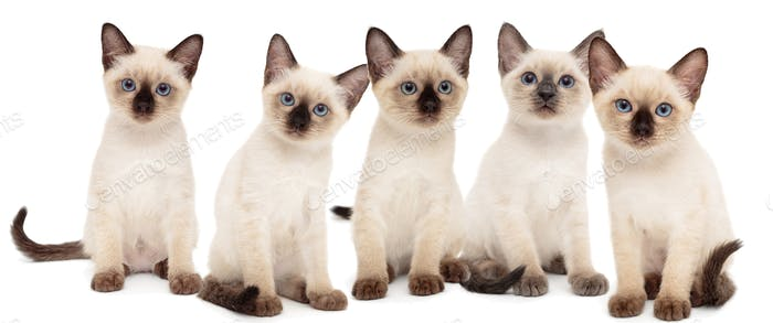 Five small Thai kittens