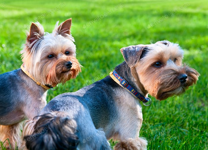 Two Yorkshire terriers on the green grass