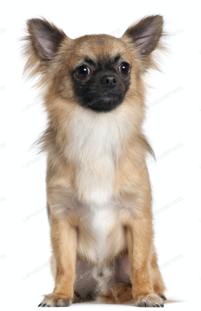 Chihuahua, 1 year old, sitting in front of white background