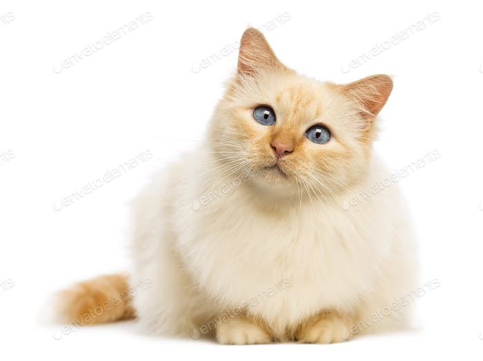 Birman lying and looking at camera against white background