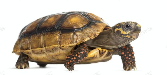 Red-footed tortoises (2 years old), Chelonoidis carbonaria, in front of a white background