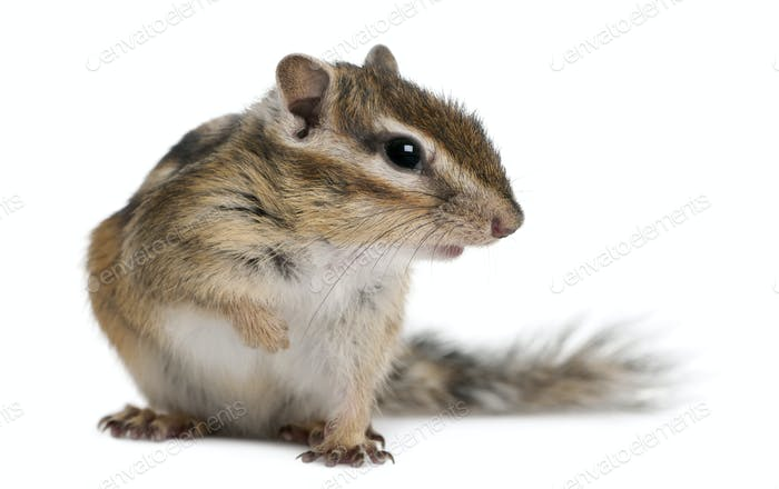 Siberian chipmunk, Euamias sibiricus, sitting in front of white background