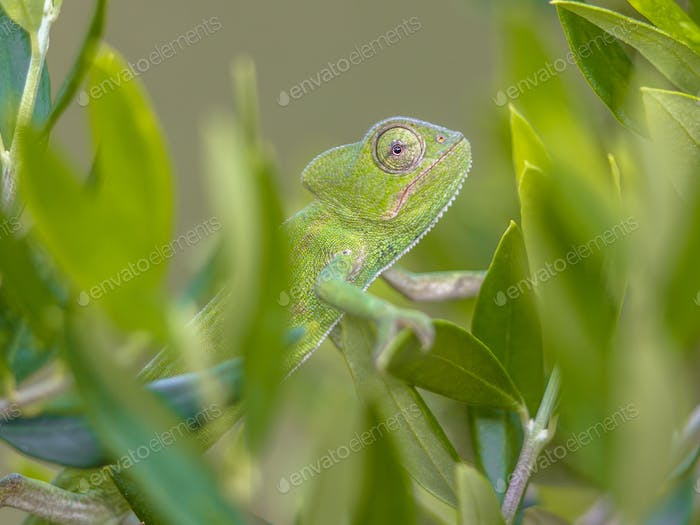 African chameleon climbing in natural tree habitat