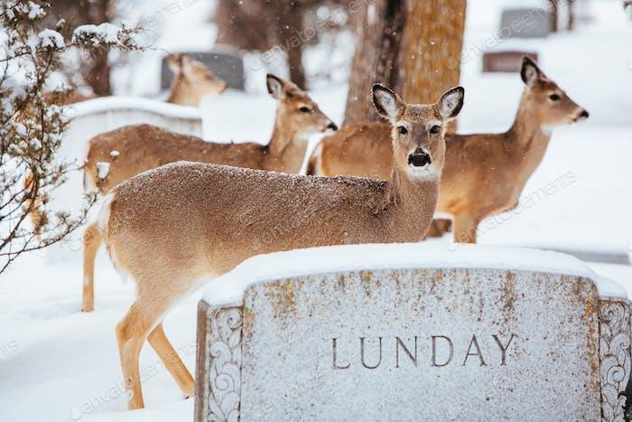 Wild Deer in Fargo USA