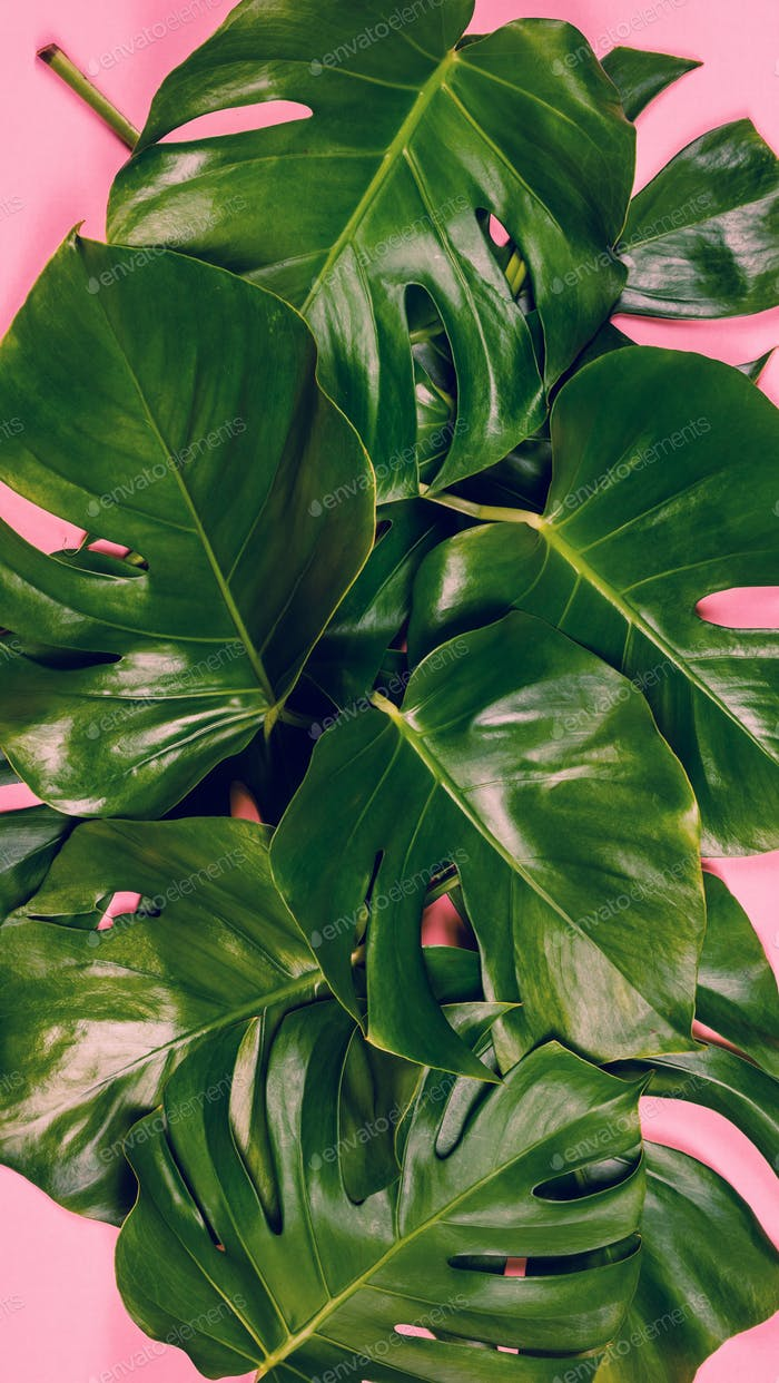 Tropical leaves Monstera on colorful background, close up