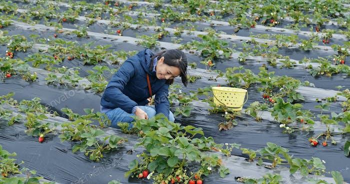 Tourist woman walking in the farm to pick strawberry