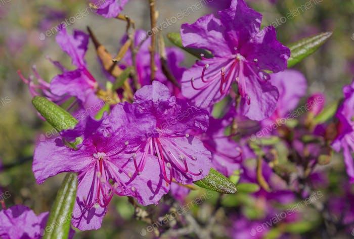 Blume Ledum palustre Rhododendron tomentosum Pflanze Nahaufnahme