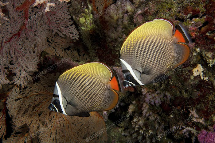 Pair of Redtail or Collared butterflyfish near gorgonian on a coral reef.