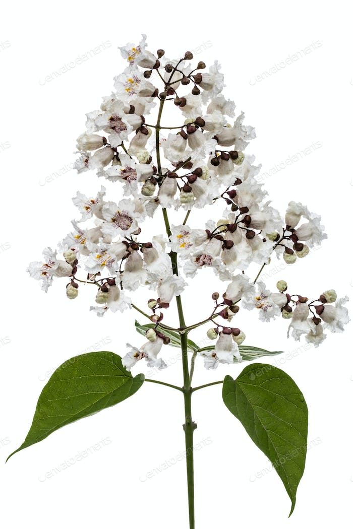 Flowering tree of Catalpa, lat. Catalpa speciosa, isolated on wh