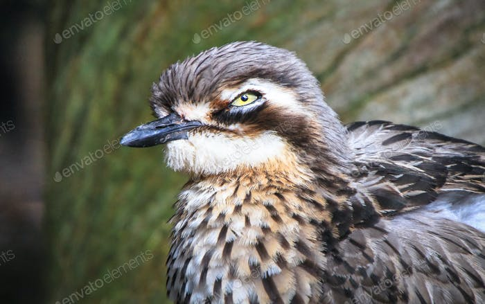 Bush Stone-curlew Up Close in Australia