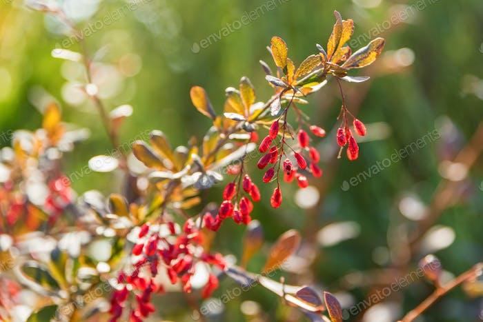 Berberitze oder Berberis vulgaris Zweig mit Beeren am sonnigen Tag