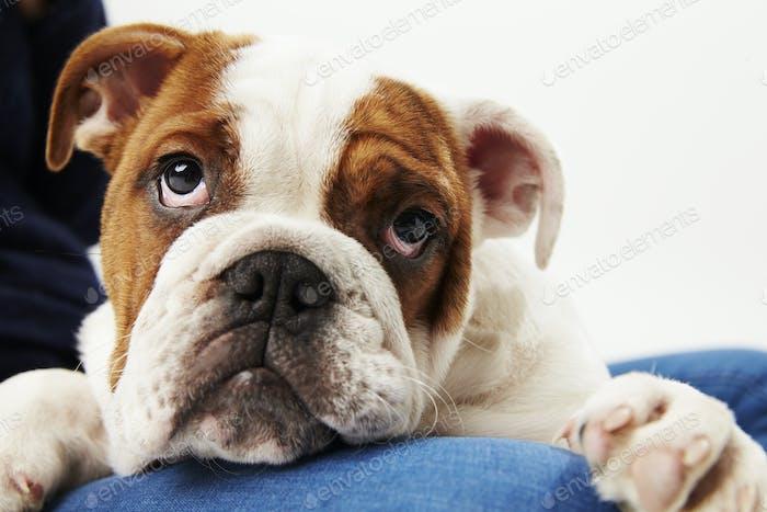 Studio Shot Of British Bulldog Welpe mit Besitzer