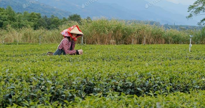 Woman work at the tea farm