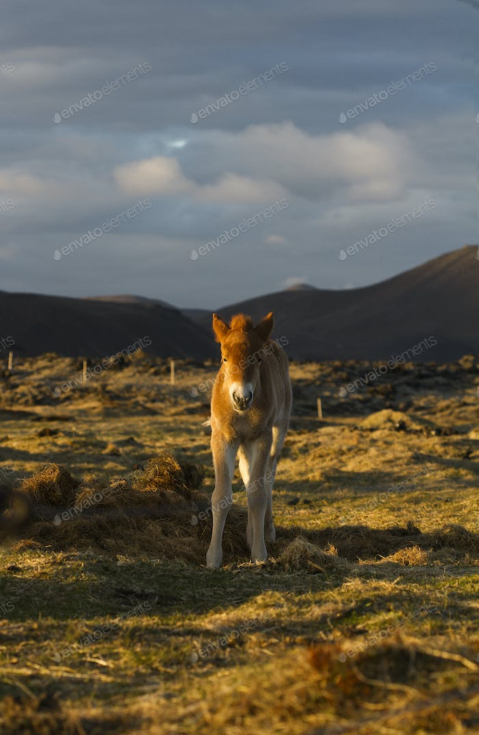 Icelandic small horse on a field