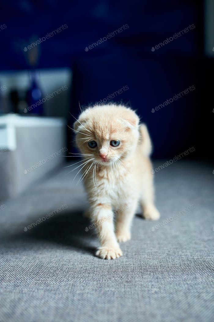 Cute red haired kitten on grey sofa in the room.