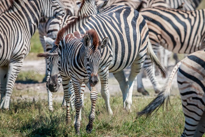 Baby Zebra in between a herd.