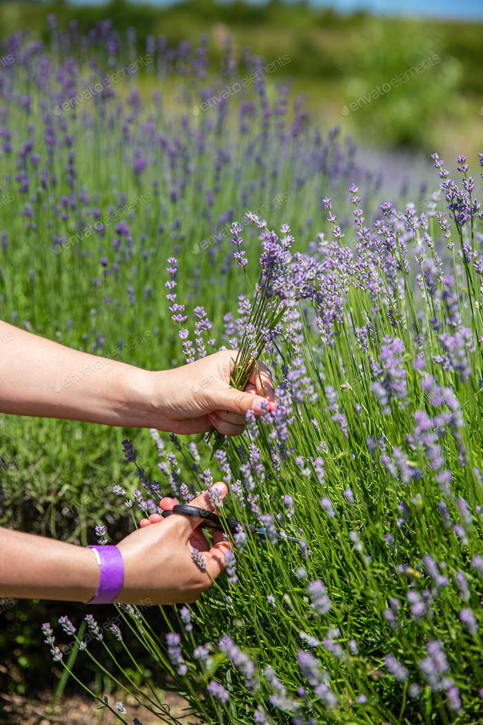 Woman hand picking aromatic lavender