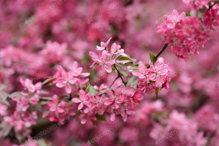 Pink sakura flowers on spring cherrys twigs