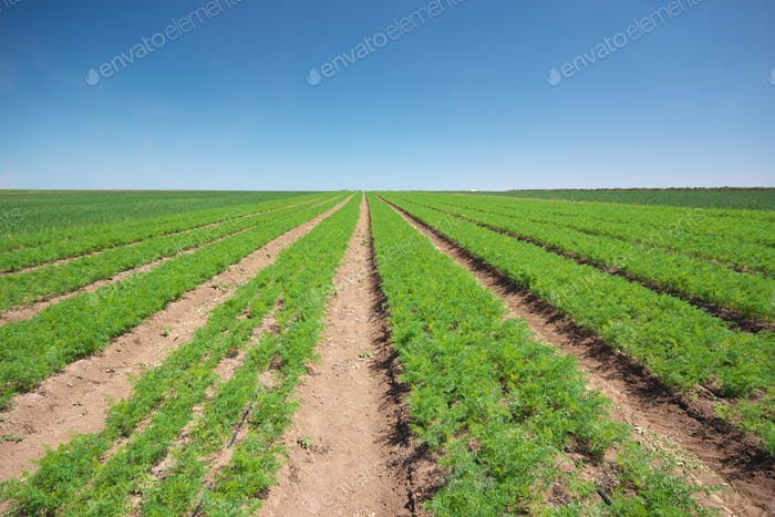 Farm field of parsley.