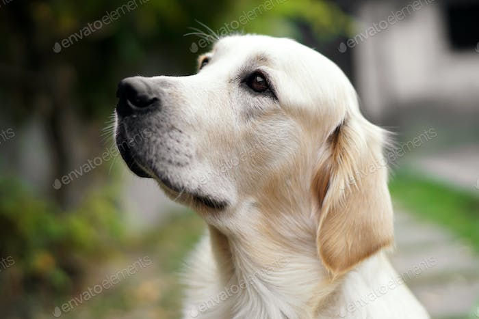 Close-up of a cute golden retriever dog looking up
