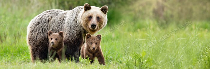 Brown bear mother with two cubs on green meadow with copy space