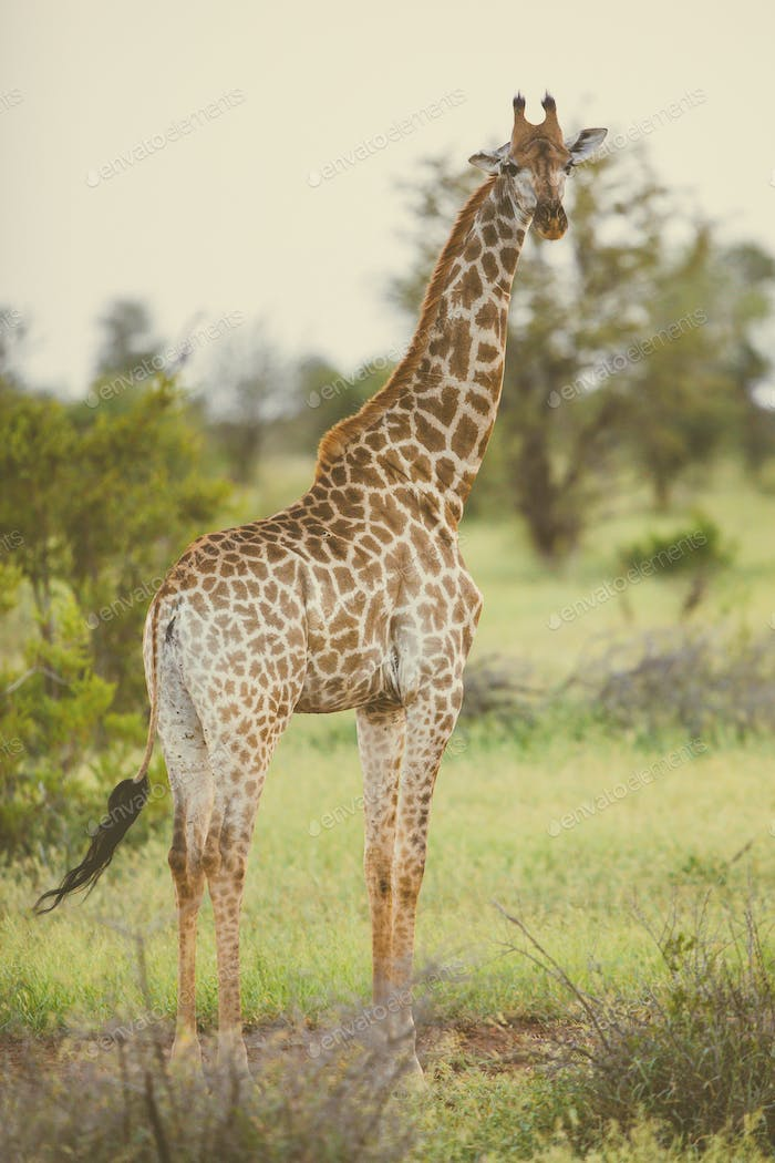 Giraffe standing in soft afternoon light
