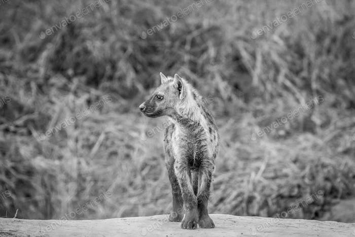 Side profile of a young Spotted hyena.
