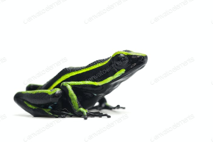 Poison dart frog isolated on white background